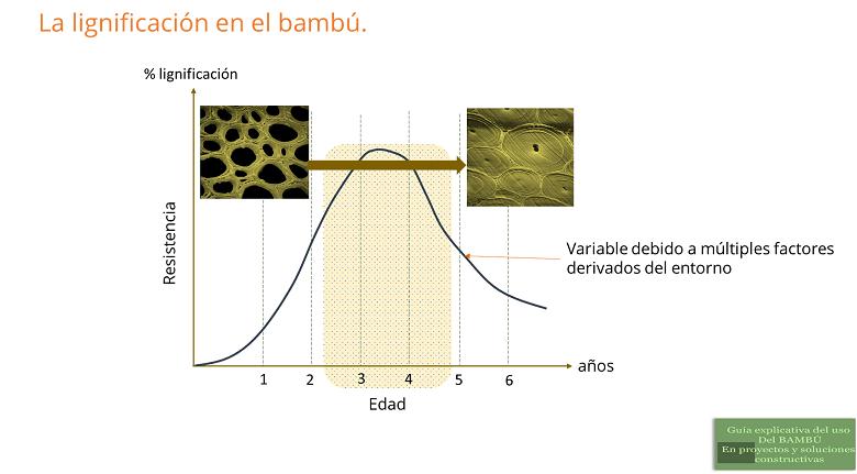 La lignificación del bambú